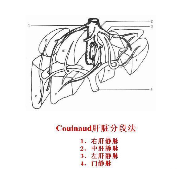 肝脏解剖图手绘